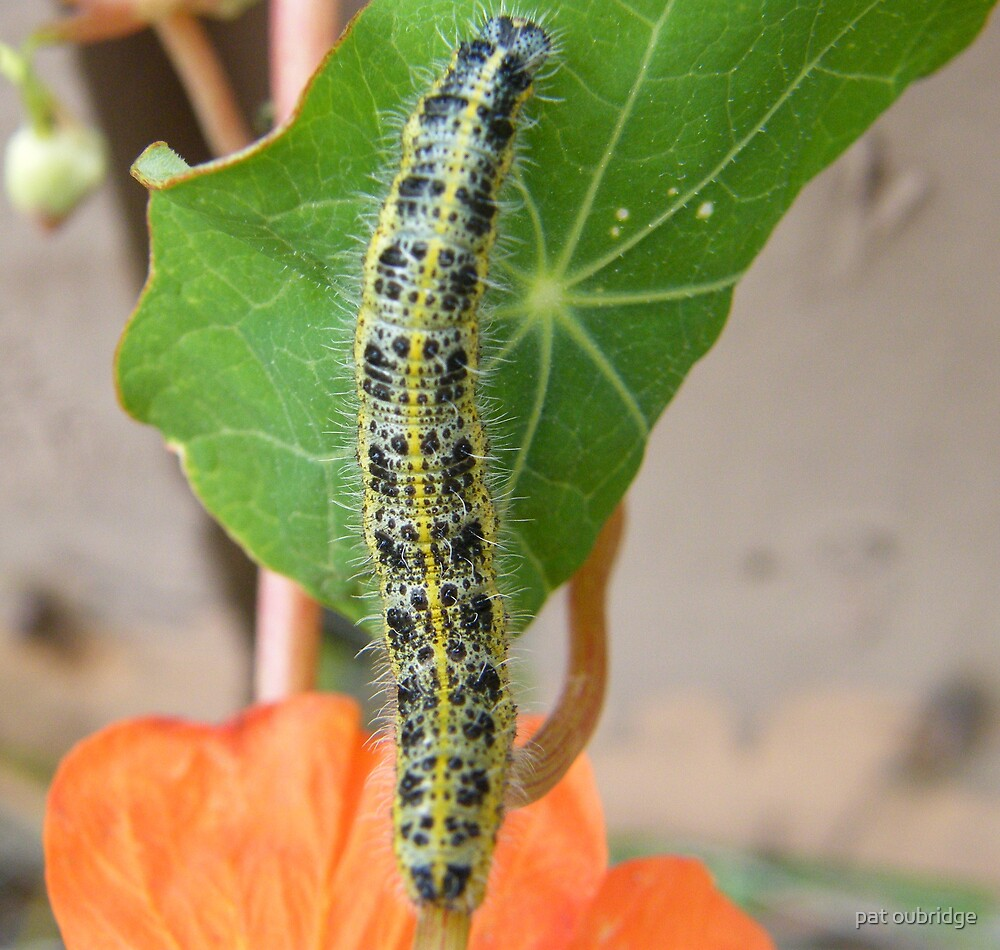 Caterpillar by pat oubridge