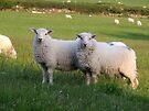 Sheep of Llanfairfechan. by Michael Haslam