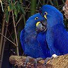 Royal Blue's by Glenna Walker