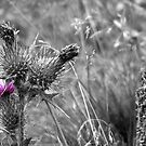 Pink Thistle Flower by craig-reeves