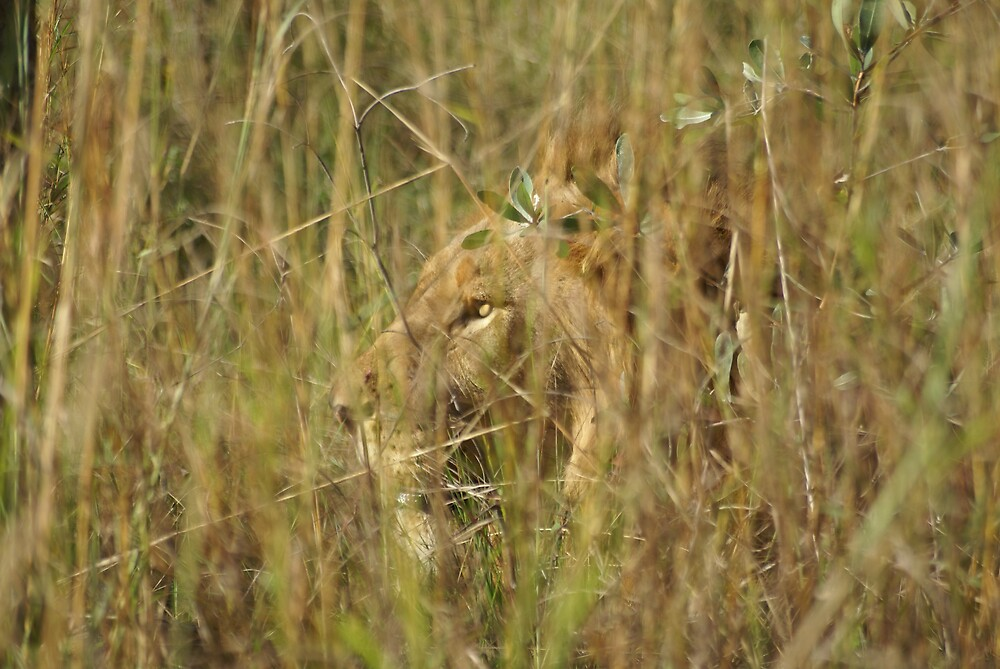 Lion, Kruger NP by Thunderchunky