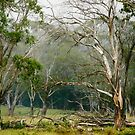 Gorgeous Gum Trees by Clare Colins