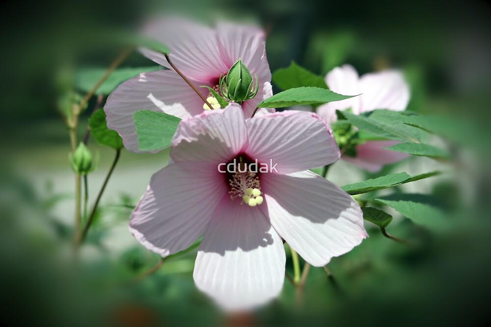 Pink Hibiscus by cdudak