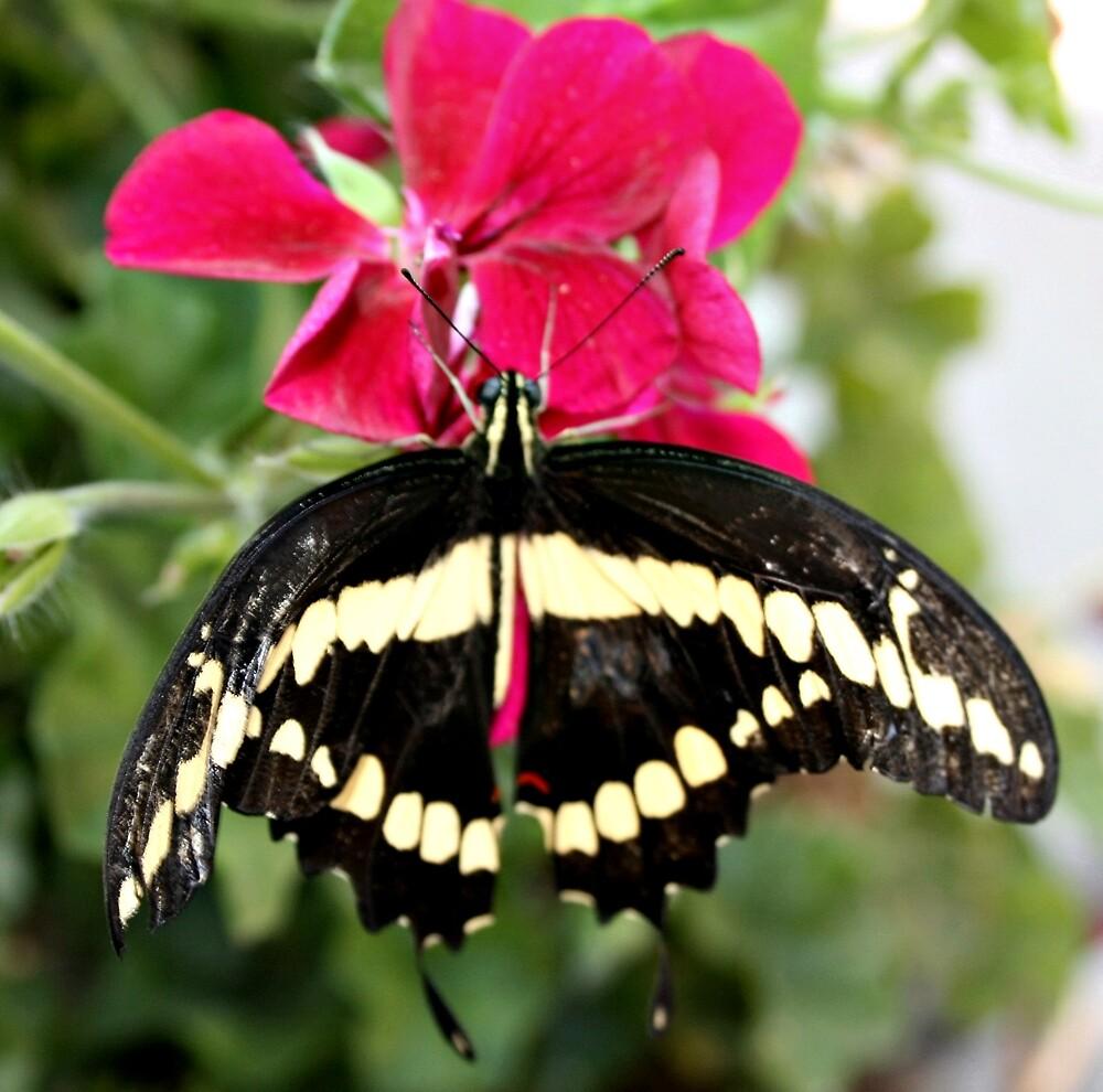 Beautiful Butterfly by Melissa  Carroll