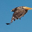 Red- Tailed Hawk by Marvin Collins