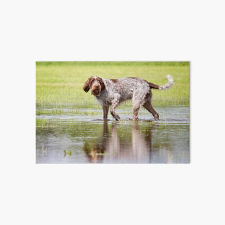 Water hunter Spinone Art Board Print