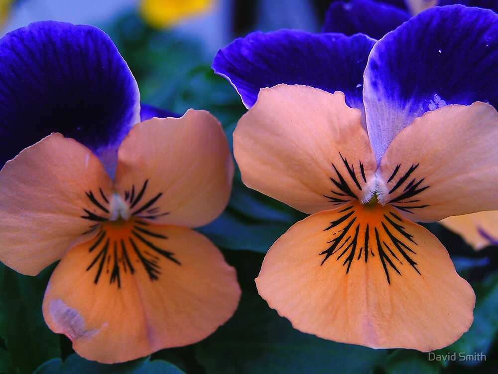 Just A Big Pansy by David Smith