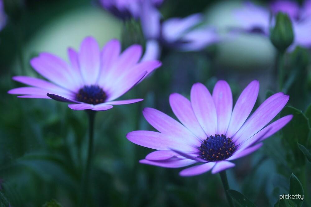 daisy dawn (osteospermum) by picketty