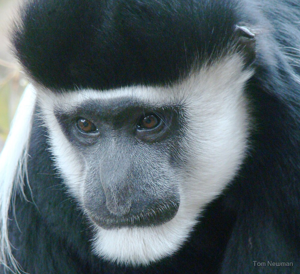 Black and White Colobus Monkey by Tom Newman
