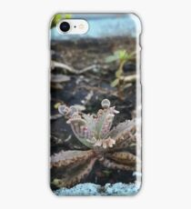 Kalanchoe Diagremontiana (Mother Of Thousand) iPhone Case/Skin