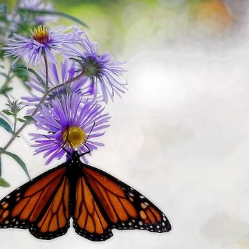 Monarch Butterfly - Migration by rural-guy