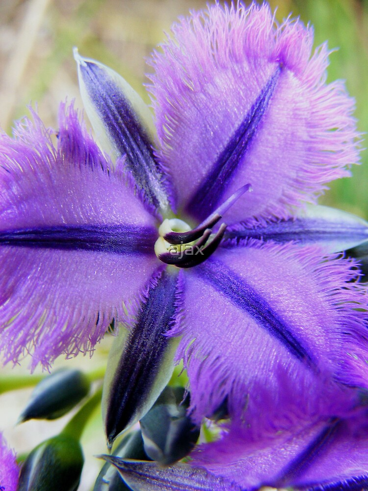 purple fringe by ajax