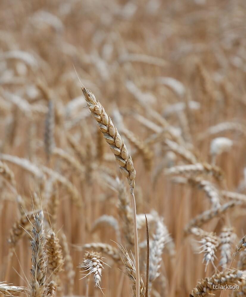 wheat by tclarkson