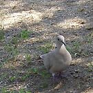 Pigeon Taking a Stroll by R&PChristianDesign &Photography