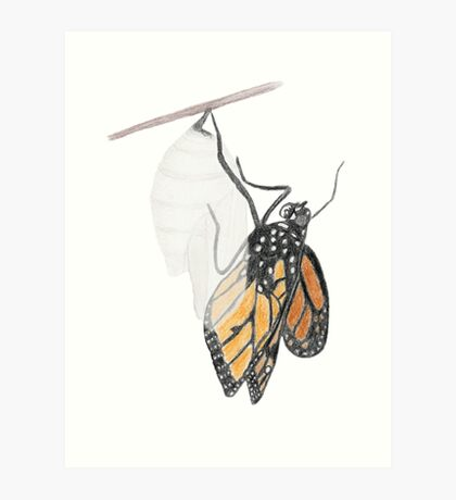 Monarch Butterfly emerging from its Chrysalis Art Print