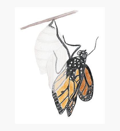 Monarch Butterfly emerging from its Chrysalis Photographic Print