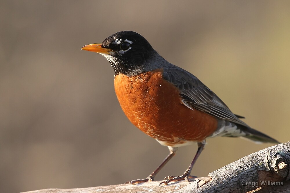 American Robin... by Gregg Williams