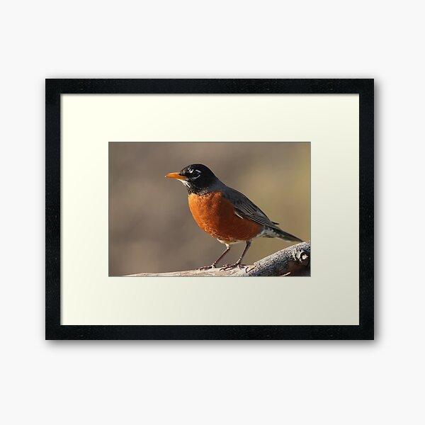 American Robin... Framed Art Print