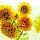 Sunflowers by Alberto  DeJesus