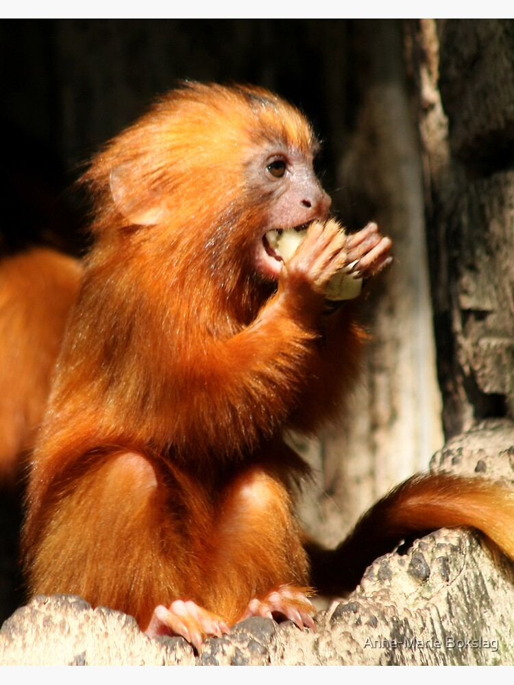 Golden Lion Tamarin by amb1946