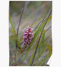 Oak Leaf Grevillea (G.quercifolia),  Poster