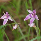 Pink Fairy Orchid, Caladenia latifolia by lezvee
