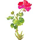 pink red geranium drawing by Babz Runcie