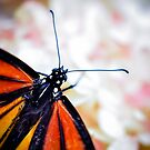Monarch love by inlightimagery