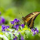 Aruba Butterfly by John Velocci