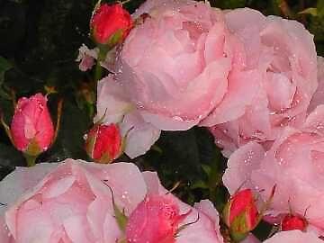 roses1 by artandme