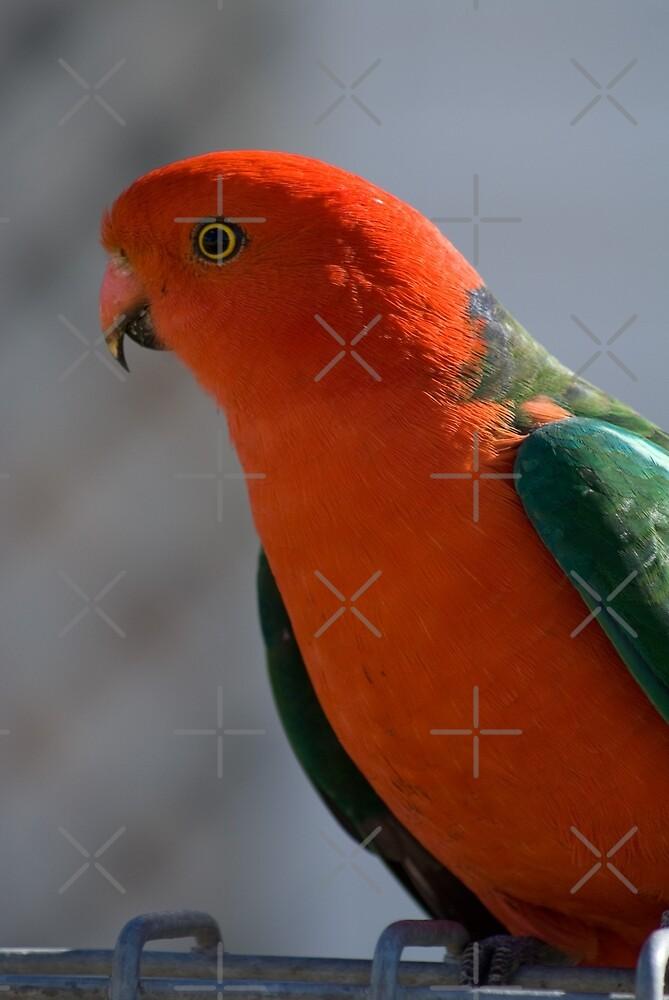 King Parrot #1 by Deborah McGrath
