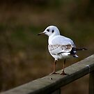 Seagull #2 by Trevor Kersley