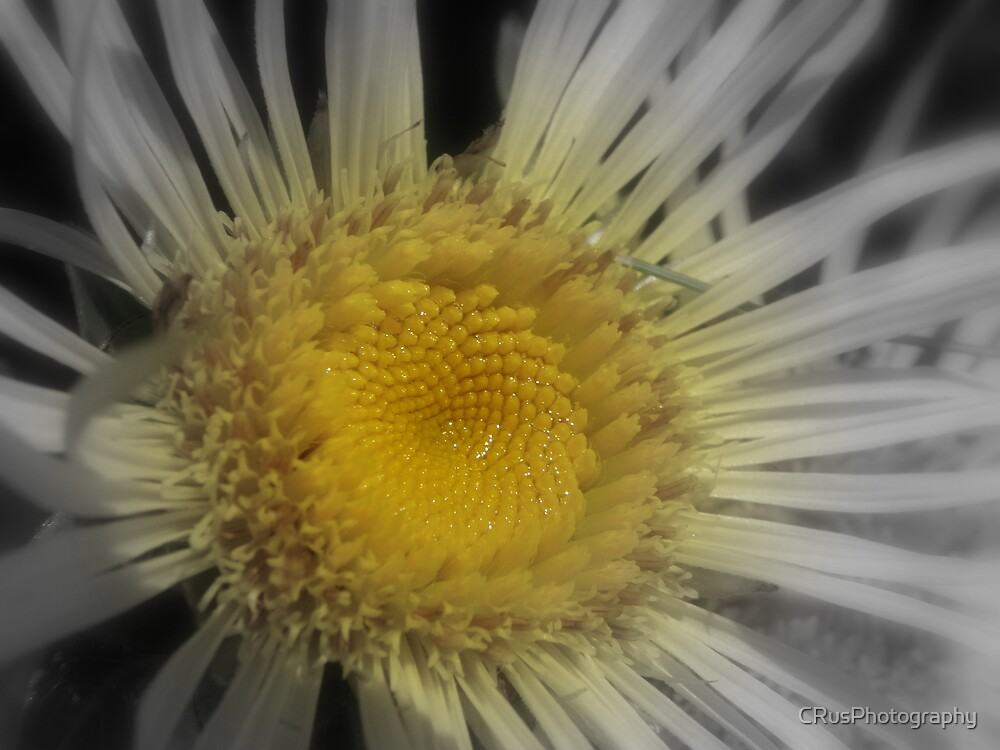 Yellow Centered Flower by CRusPhotography