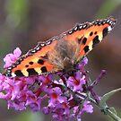 Small Tortoiseshell Butterfly on Budlea Flower by AnnDixon