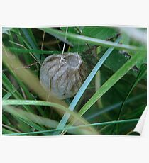 Wasp spider egg sac Poster