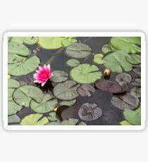 Beautiful pink waterlily in the Danube Delta, Romania, on summer day Sticker