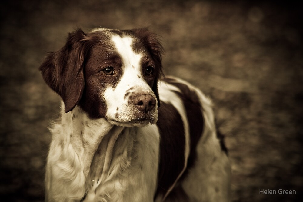 Brittany in Sepia by Dog Shop