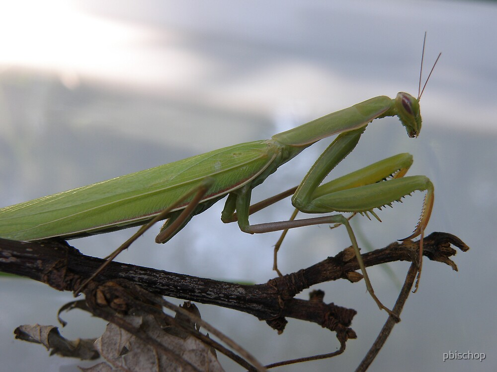 A Preying Mantis by pbischop