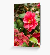 Red camellia flowers blooming in the garden Greeting Card