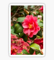 Red camellia flowers blooming in the garden Sticker