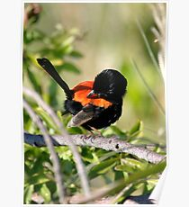 """Red-backed fairy wren (Malurus melanocephalus) """"Just checking, are my RED feathers showing enough?"""" Poster"""