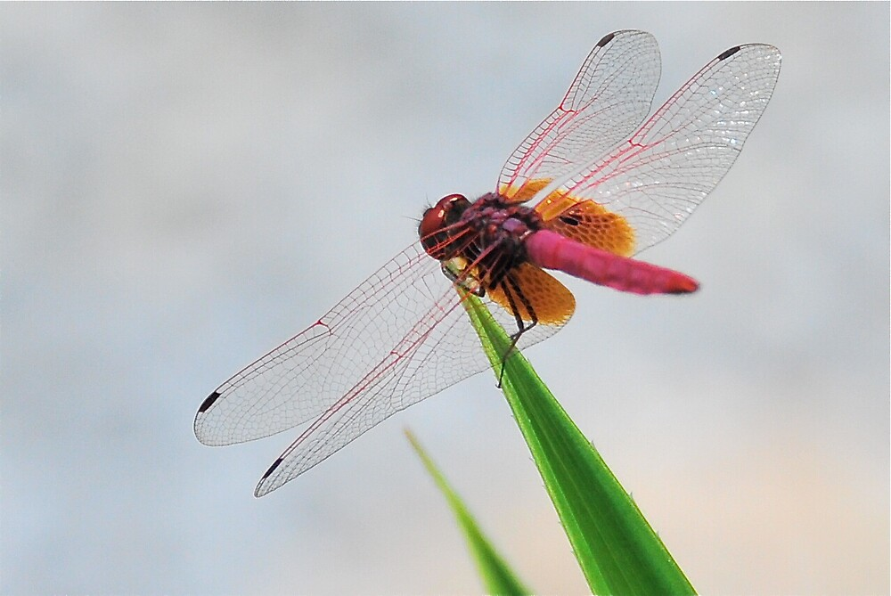 Red Dragonfly by PixCrazy