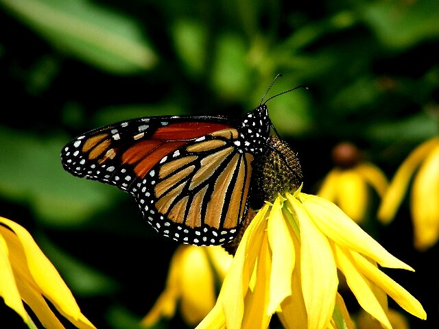 Butterfly on Yellow Flower by Tamara Bobst