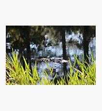 Alligator Moving Along Photographic Print