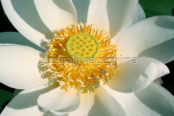 White  LOTUS by yoshiaki nagashima