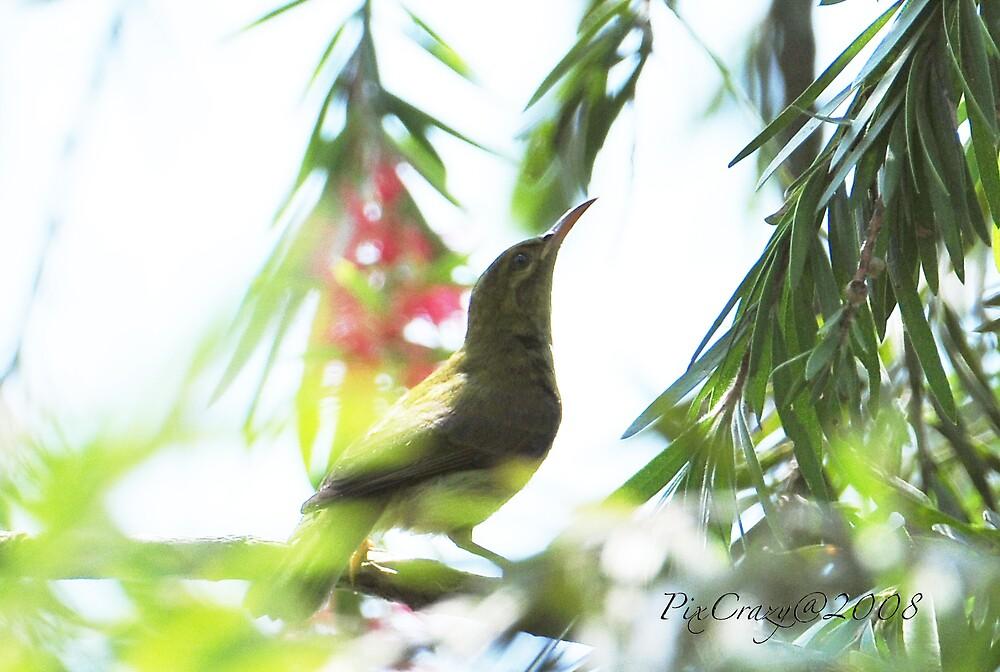 Sunbird in Chinese Garden by PixCrazy
