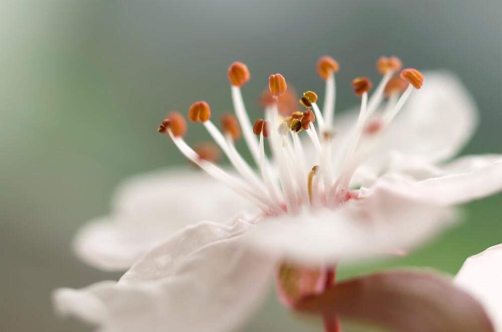 Delicate Blossom by Jenni77