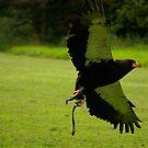 Batteleur Eagle by Justin020