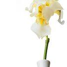 White Iris 3 by Jacinthe Brault
