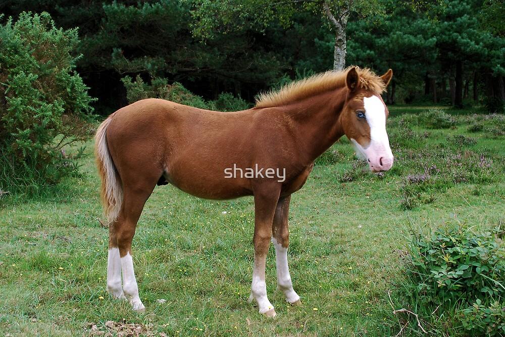 New Forest Pony by shakey